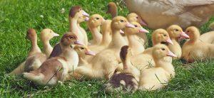 goslings-1566724_960_720